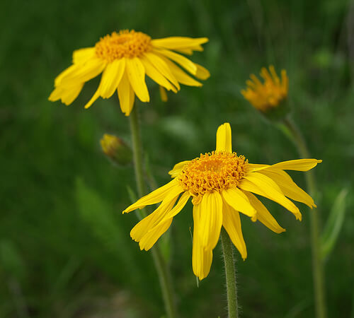 arnica blooms for stubborn scars