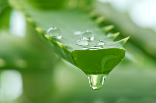 Juice of aloe plant
