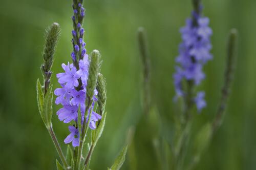 Super Herb - Blue Verbena