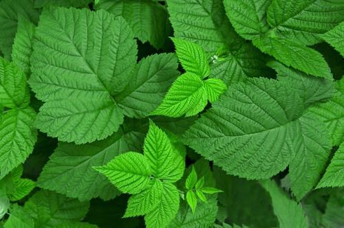 Super herb, raspberry leaves
