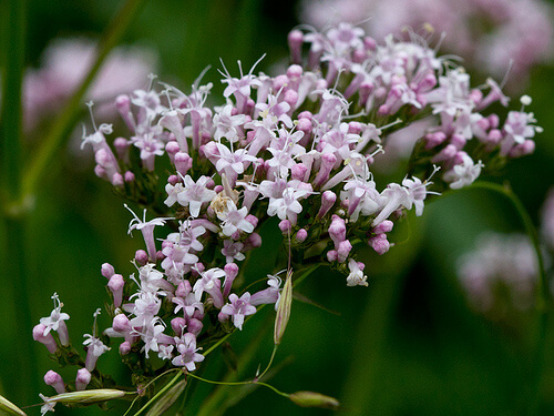 valeriana-herb