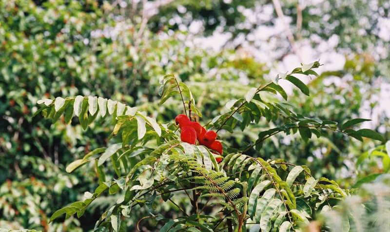 Borututu tree