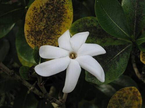 flower-tiare-Ros-in-wonderland-2