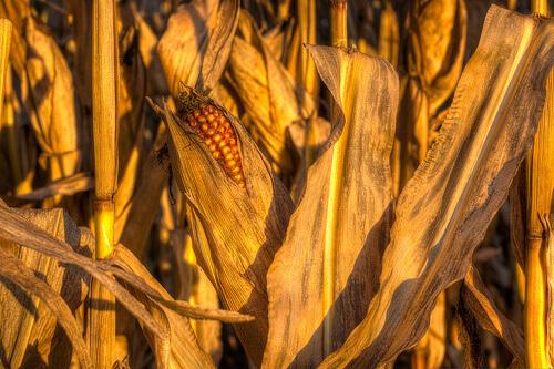 3-corn-9