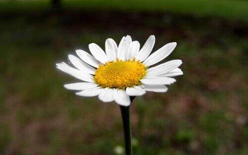 chamomile-flower-4