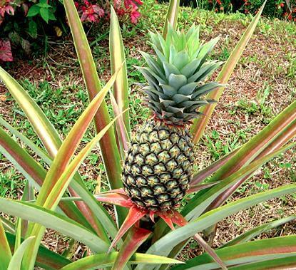 pineapple-6-9